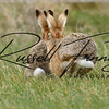 Hares russellfinneyphotography (105)