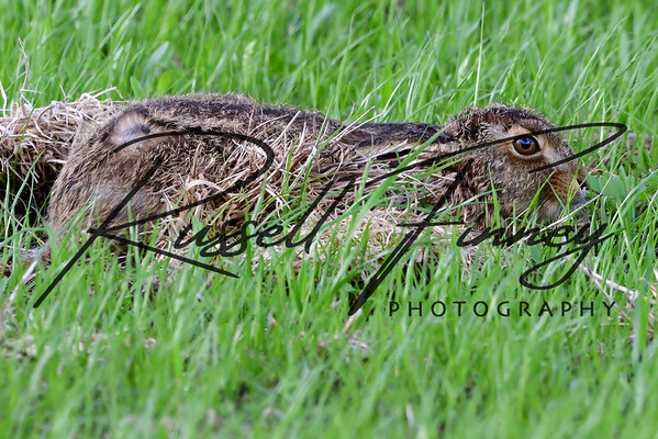 Hares russellfinneyphotography (1)