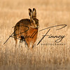 Hares russellfinneyphotography (46)