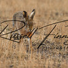 Hares russellfinneyphotography (19)
