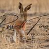 Hares russellfinneyphotography (24)