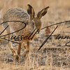 Hares russellfinneyphotography (23)