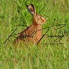Hares russellfinneyphotography (110)