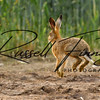 Hares russellfinneyphotography (4)