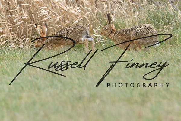 Hares russellfinneyphotography (99)