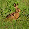 Hares russellfinneyphotography (107)