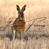 Hares russellfinneyphotography (63)
