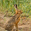 Hares russellfinneyphotography (2)