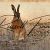 Hares russellfinneyphotography (54)