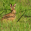 Hares russellfinneyphotography (109)