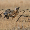 Hares russellfinneyphotography (29)