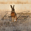 Hares russellfinneyphotography (55)