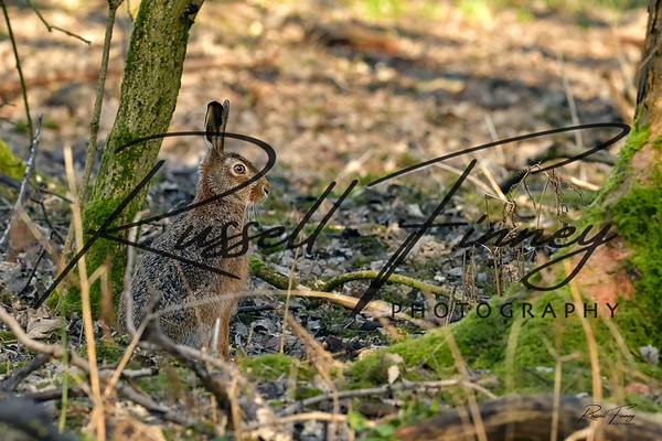 Hares russellfinneyphotography (113)