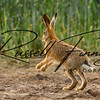 Hares russellfinneyphotography (5)