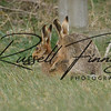 Hares russellfinneyphotography (86)