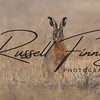 Hares russellfinneyphotography (36)