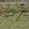 Hares russellfinneyphotography (84)