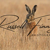 Hares russellfinneyphotography (30)