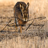 Hares russellfinneyphotography (61)