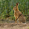 Hares russellfinneyphotography (6)