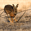 Hares russellfinneyphotography (59)