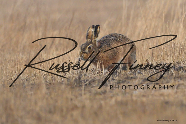 Hares russellfinneyphotography (37)