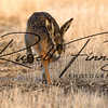 Hares russellfinneyphotography (62)