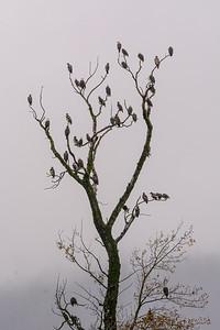 Harrison Eagle tree