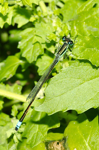 Rambur's Forktail Male-like - Ischnura ramburii
