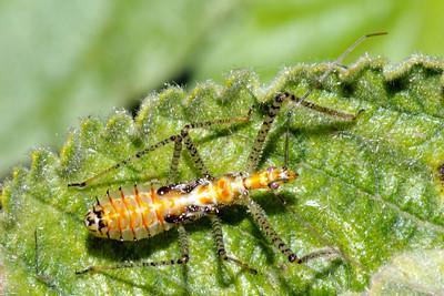 Damsel Bug. Nabis. Endemic, Oluwalu, Maui