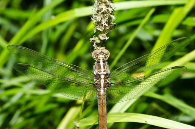 Pina`o. Hawaiian dragonfly