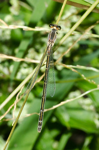 Hawaiian Damselfly