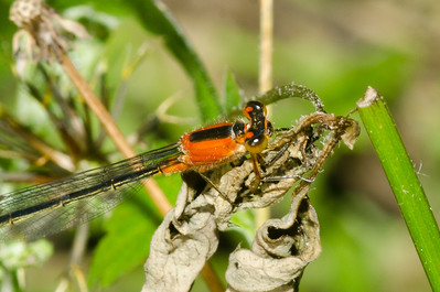 Orange Damselfly - Ischnura ramburii