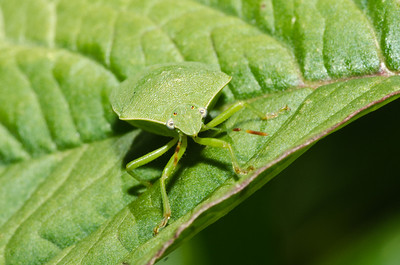 Stink bug. Endemic?