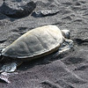 Green Sea Turtle on Black Sand Beach