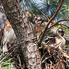 Red Tail Hawk Chick Eating Rodent