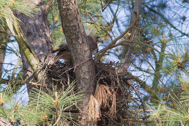 Red Tail Hawk-Nest