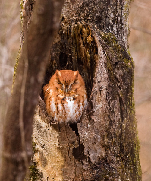 Red Phase Eastern Screech Owl Waterloo, AL 2010.