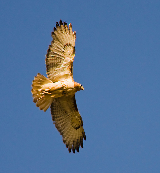 Red Tail Hawk-Flight