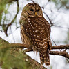 Barred Owl Florence, AL 2010