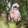 Red Tail Chick