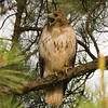 Vocal Red Tail Hawk