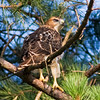 Red Tail Hawk-Juvenile