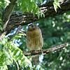 Adult red shouldered hawk
