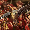 At about the size of a large thrush, the American Kestrel, is the smallest falcon in North America.