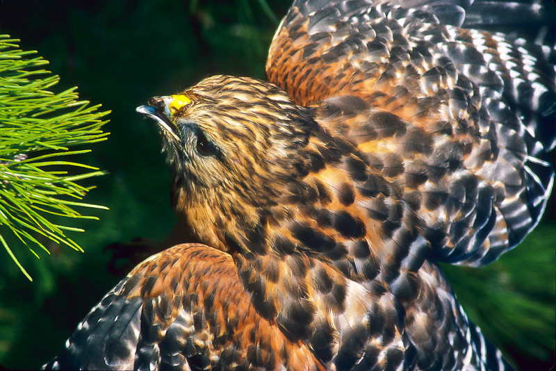 The red-shouldered hawk enjoys rodents and small birds.  They are also known to stake out a bird feeder.