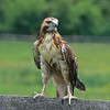 This red-tailed hawk lives on a farm in Souther New Jersey.  The habitat is filled with prey.  He has a barnyard, corral and forest.