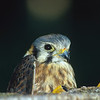American kestrel having a sneek peek.