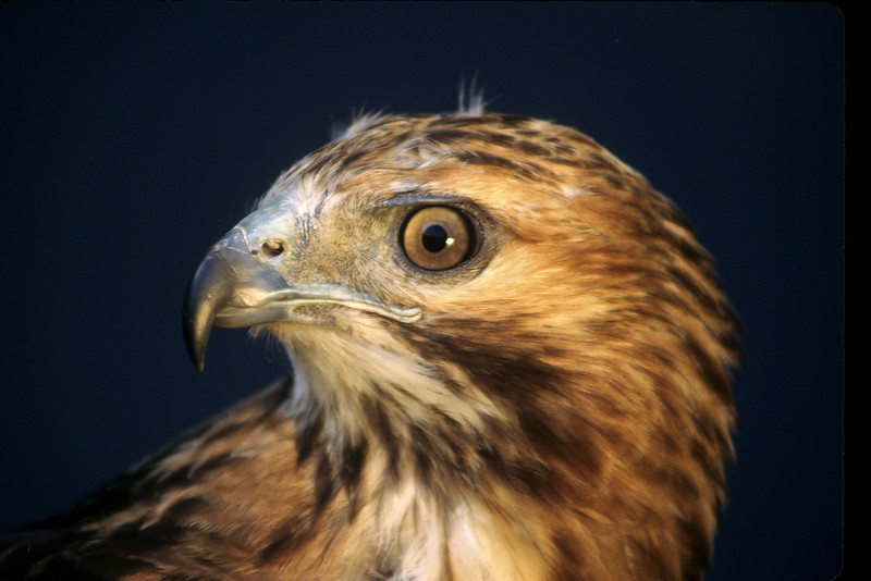 Red-tailed up close.
