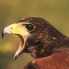 The feathers of the red-tailed hawk depend on the subspecies.  They can be brown, reddish to a golden red.  This hawk has a lot to say.
